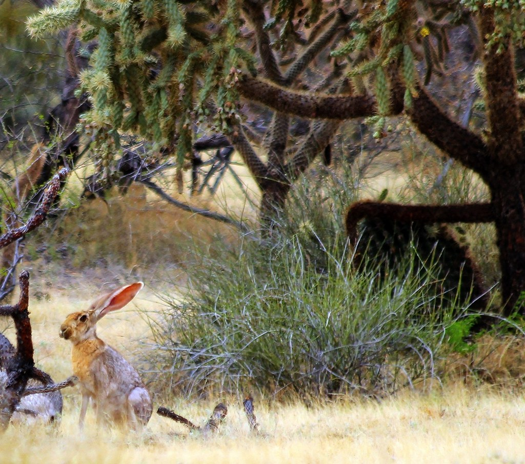 Antelope Jackrabbit (Lepus alleni); well-adapted to its desert environment.