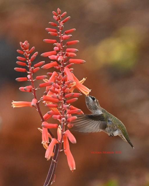Anna's hummingbird on aloe blossoms
