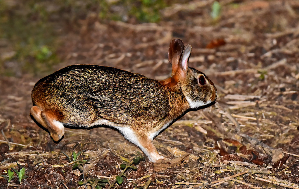 Tapiti - The only species of wild rabbit in Brazil (Sylvilagus brasiliensis): very endangered by the introduction of the European hare in the country.