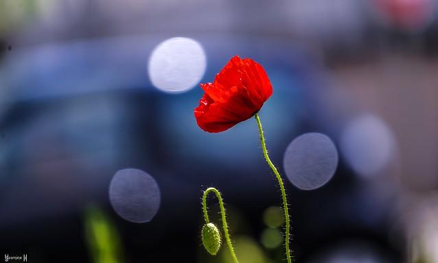 9723 - #Poppy