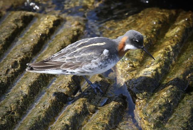 Red-necked Phalarope, Monterey Harbor, Monterey, California, 05-07-21