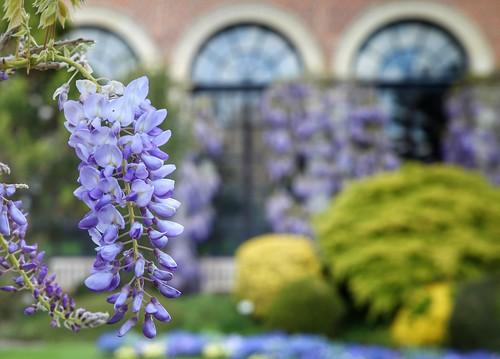 bloeiende blauweregen @ Kruidtuin Leuven (mei 2021)