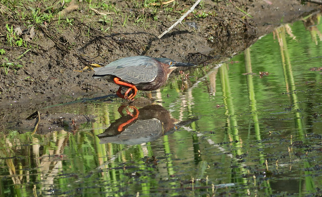 green heron moving through edge of pond