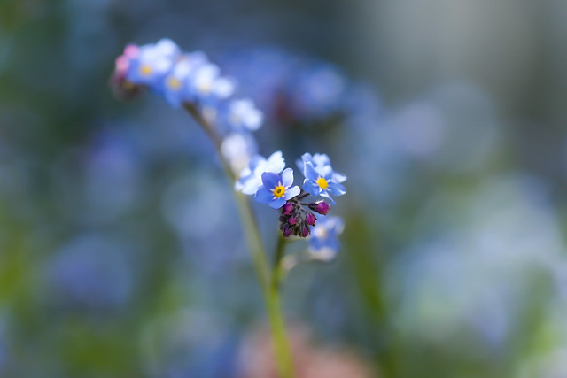 More Forget-me-nots!