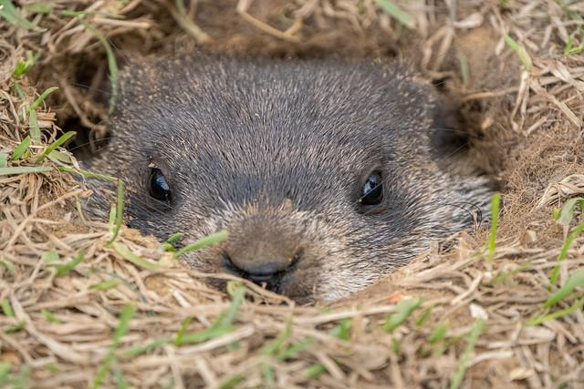Woodchuck close-up