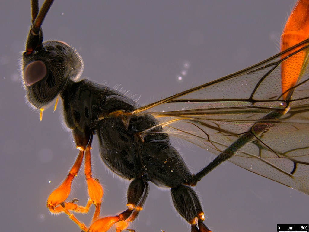 26b - Monomachus antipodalis Westwood , 1874
