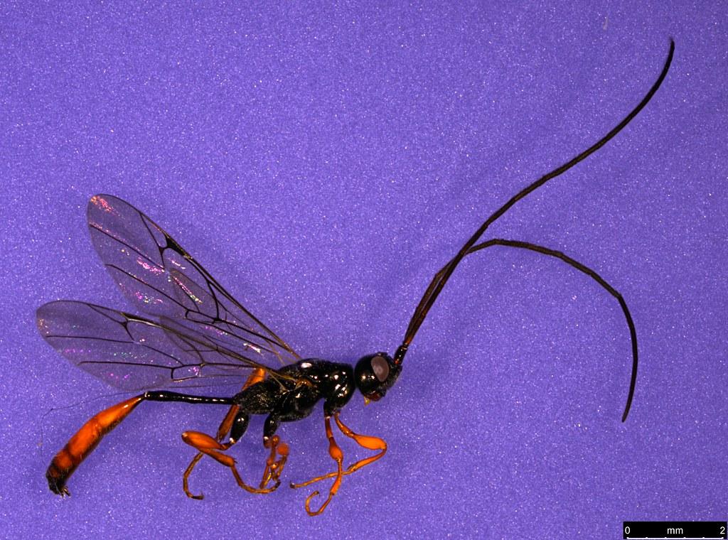 28 - Monomachus antipodalis Westwood , 1874