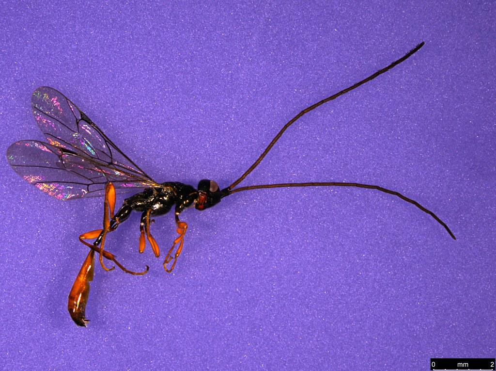 29 - Monomachus antipodalis Westwood , 1874