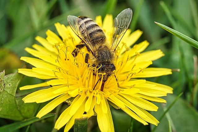 Fleissige Biene ...Kehre heim mit reicher Habe,Bau uns manche volle Wabe summ summ summ