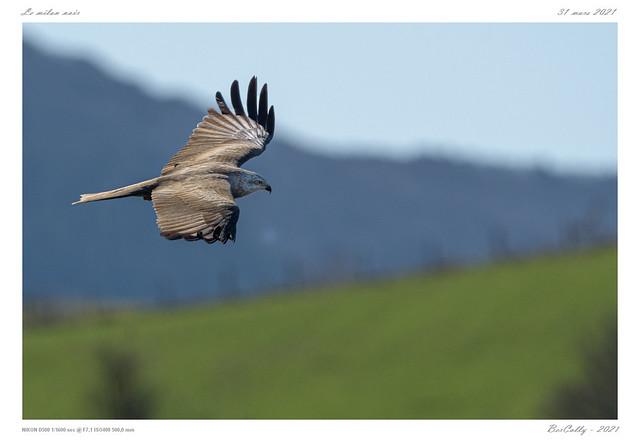 Le milan noir | Black kite