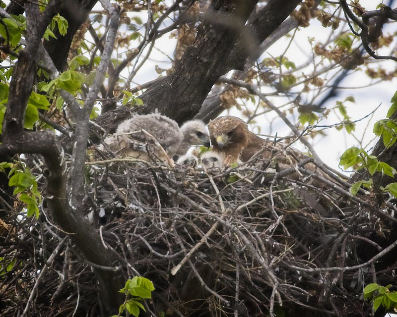 Tompkins Square red-tailed nestlings