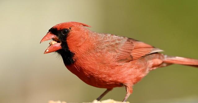 Male Northern Cardinal May 2, 2021