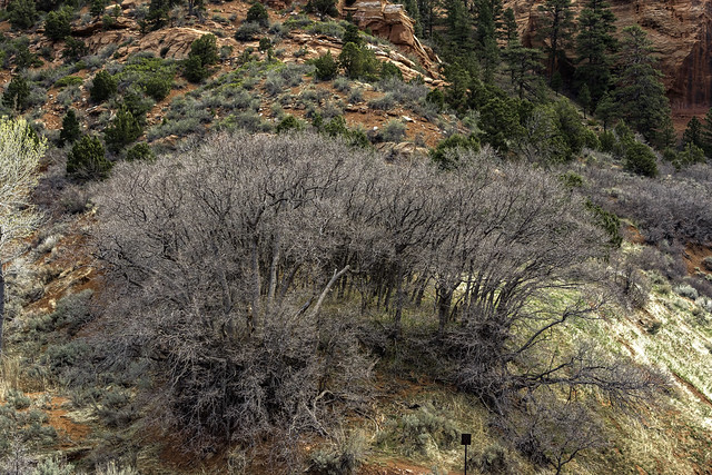 isolated patch at the base of Paria Point Mountain in Kolob Canyons