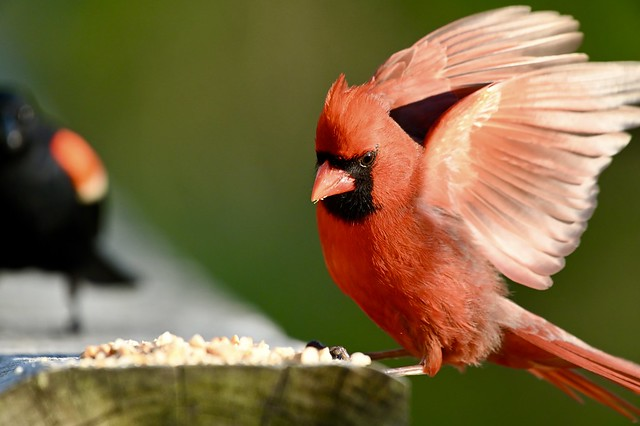 Male Northern Cardinal in movement 5/9/2021