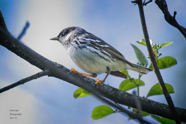 Blackpoll Warbler 5_7_21