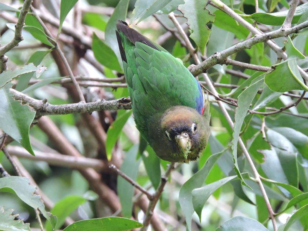 Scarlet-shouldered Parrotlet - Touit huetii - El Jaguar ProAves Reserve - Foto: Luisa Fernanda Chávez Paz