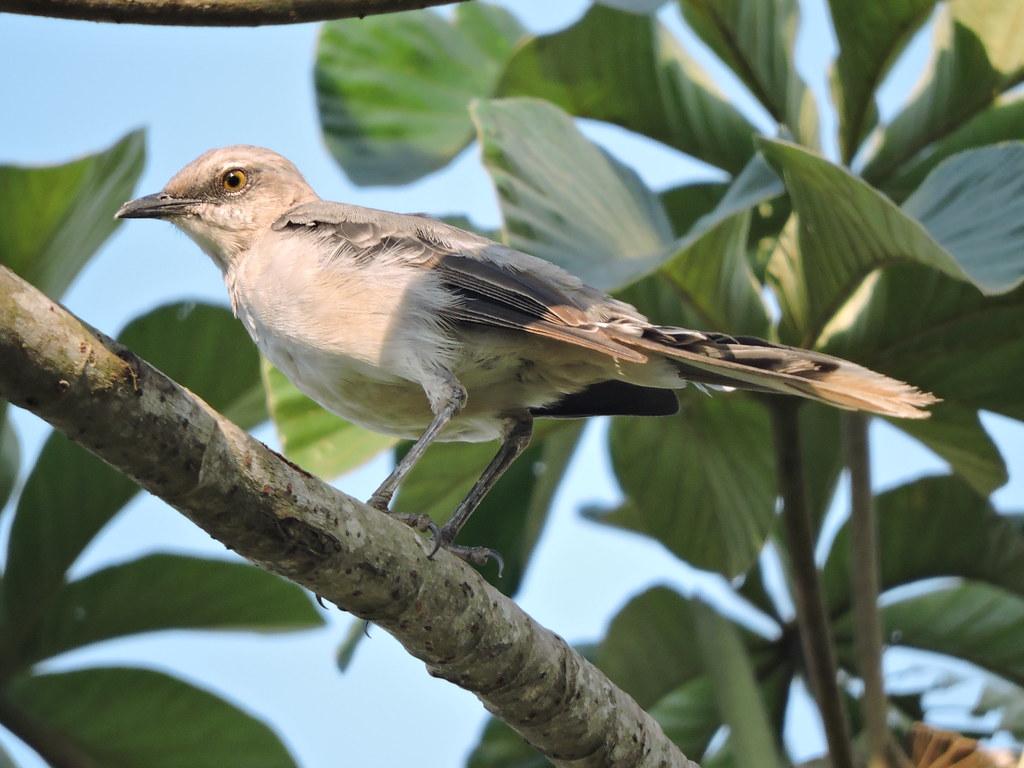 Tropical Mockingbird - Mimus gilvus - El Jaguar ProAves Reserve - Foto: Luisa Fernanda Chávez Paz
