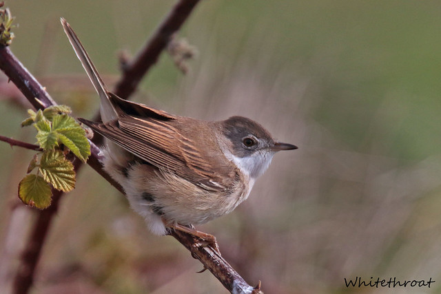 WHITETHROAT // SYLVIA COMMUNIS (14cm)