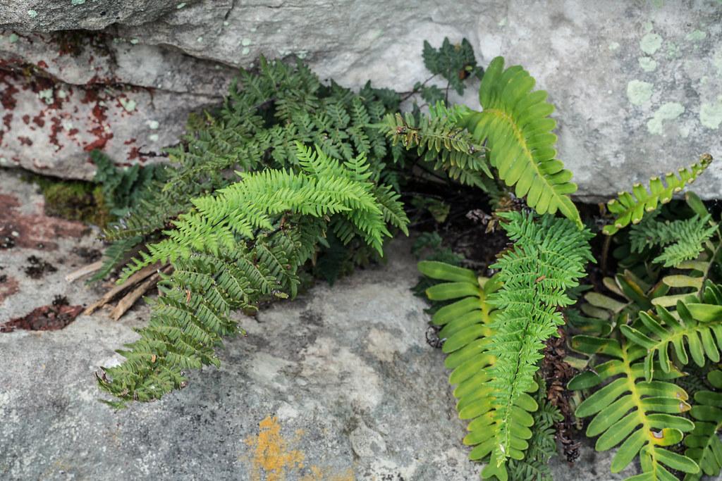 Myriopteris alabamensis (Alabama Lip Fern) and Polypodium virginianum (Rock Polypody)