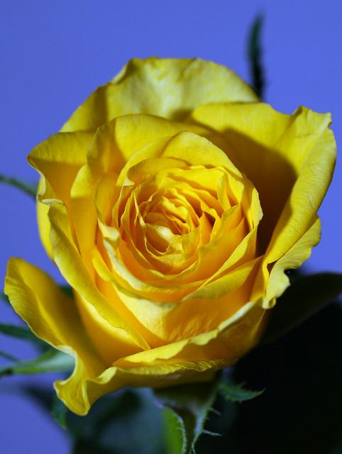 365 - Image 130 - Yellow..