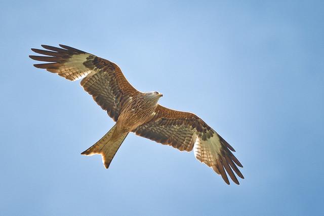 Red Kite   Scientific name: Milvus milvus