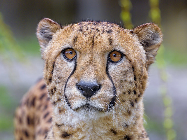 Cheetah with big open eyes