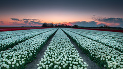 White tulips ... Sunset