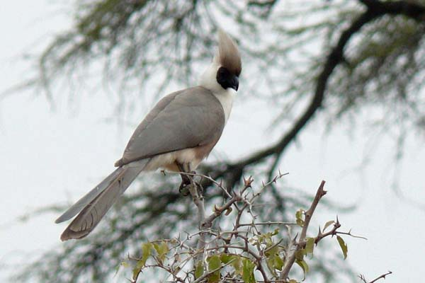 nachtkehl-lärmvogel
