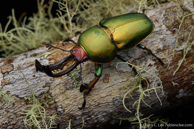 Stag beetle (Neolamprima adolphinae) ♂
