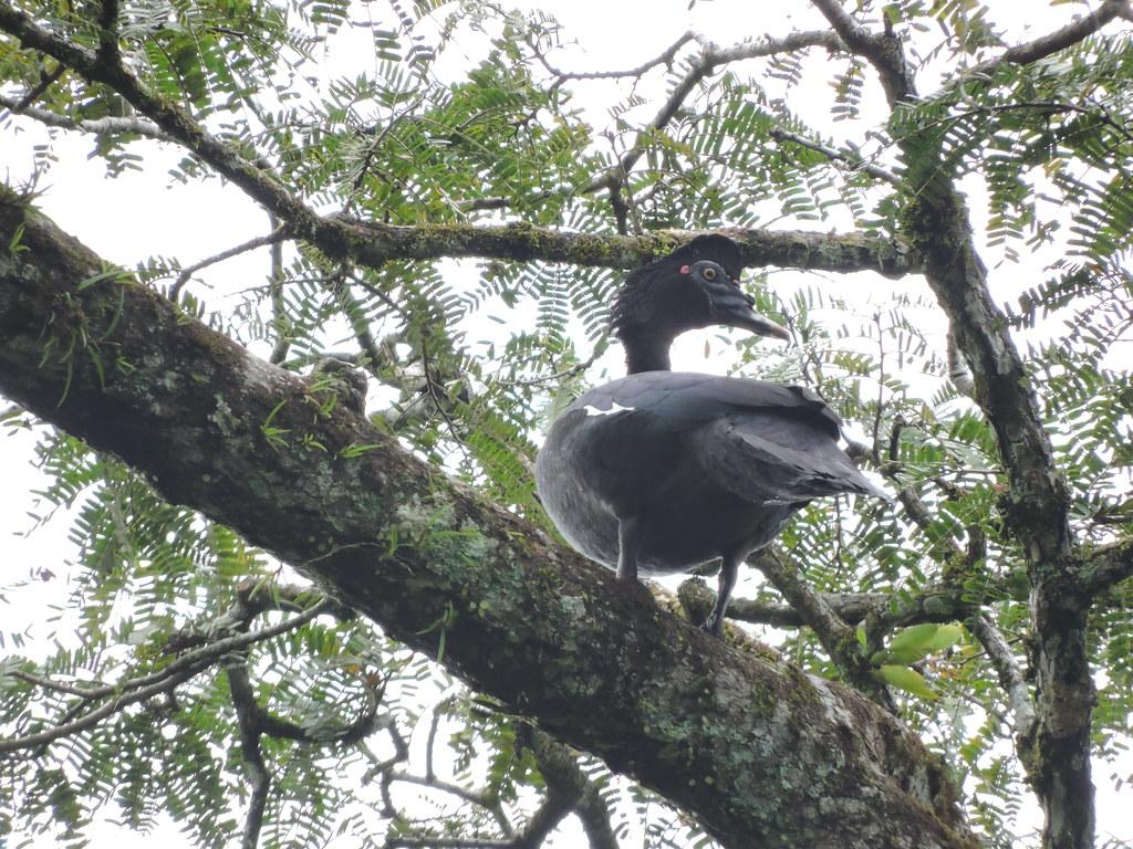 Muscovy Duck - Cairina moschata - El Jaguar ProAves Reserve - Foto: Luisa Fernanda Chávez Paz