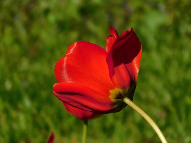 Czerwony tulipan.