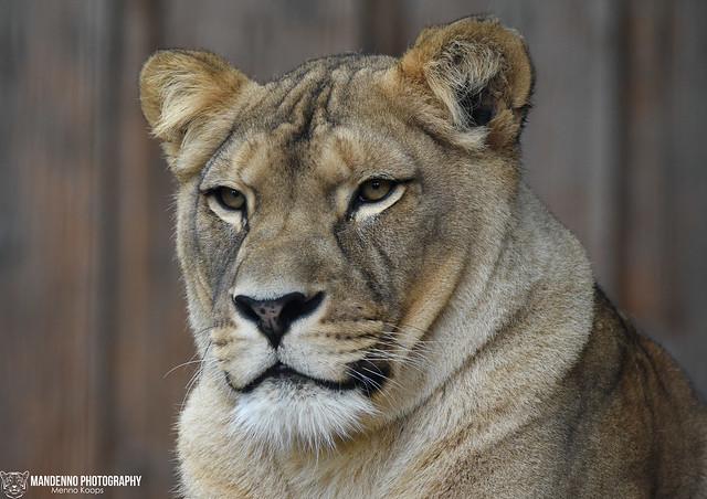 African lioness - Zoo Neuwied