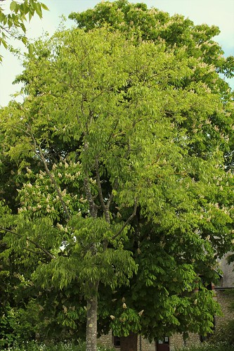 Celtis australis - micocoulier - Page 3 51171859876_eaa80ab863