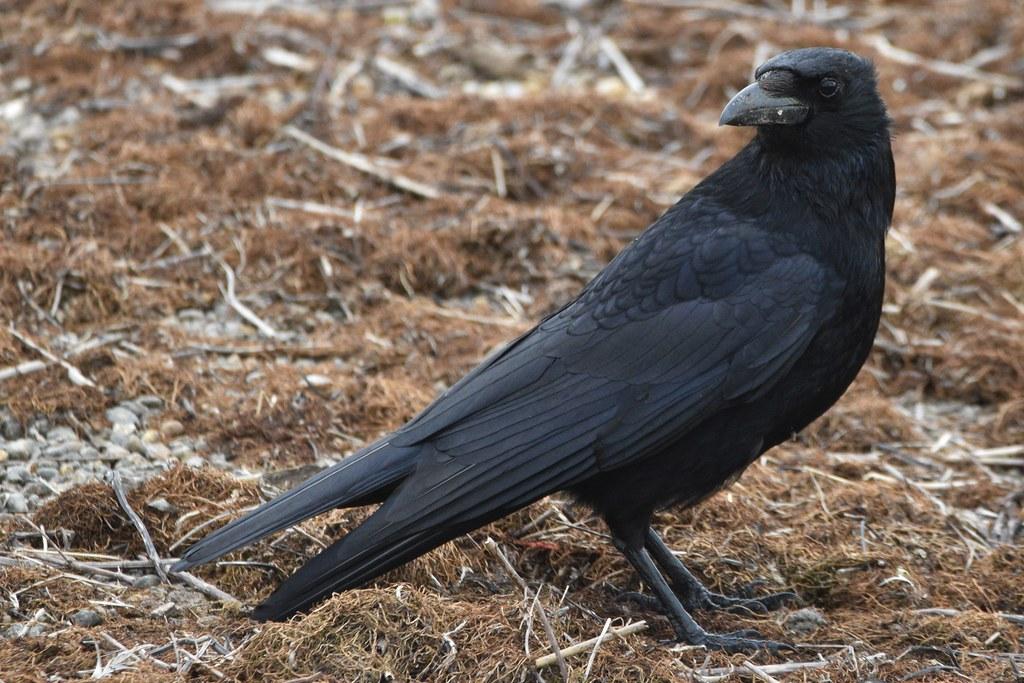 Carrion Croww