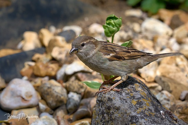 House Sparrow (Passer domesticus) at our garden pond
