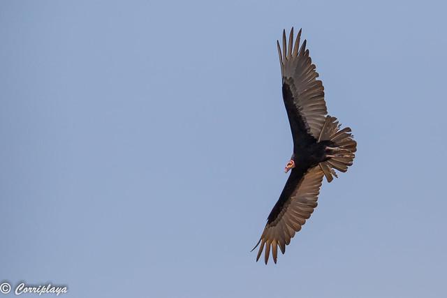 Aura sabanera, Cathartes burrovianus, Lesser Yellow-headed Vulture