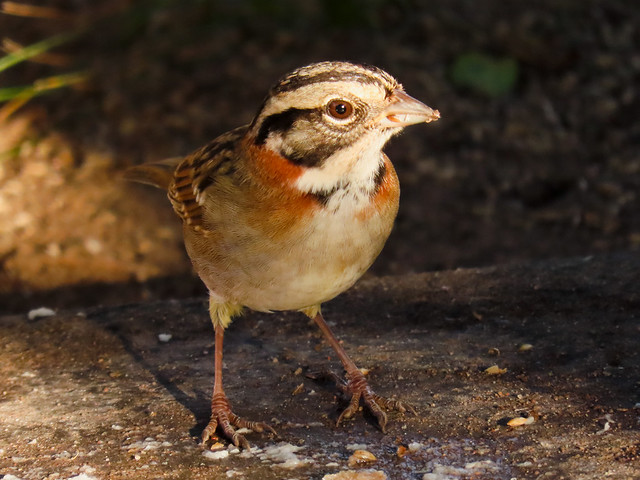 Tico-tico/Rufous-collared Sparrow