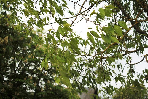 Celtis australis - micocoulier - Page 3 51172097098_72818a08a9
