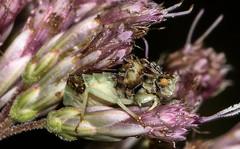 Phymata americana