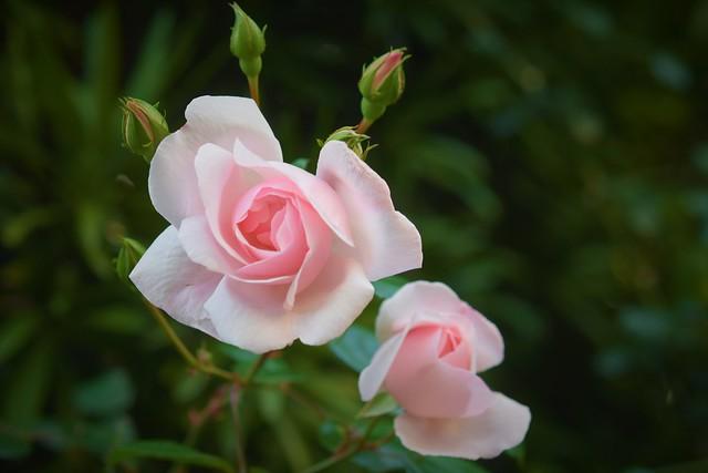 Rose  장미