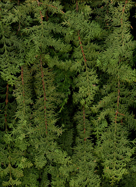 61159.01 Chamaecyparis obtusa 'Filicoides'