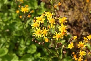 2021-05-11. Ragwort blossoms