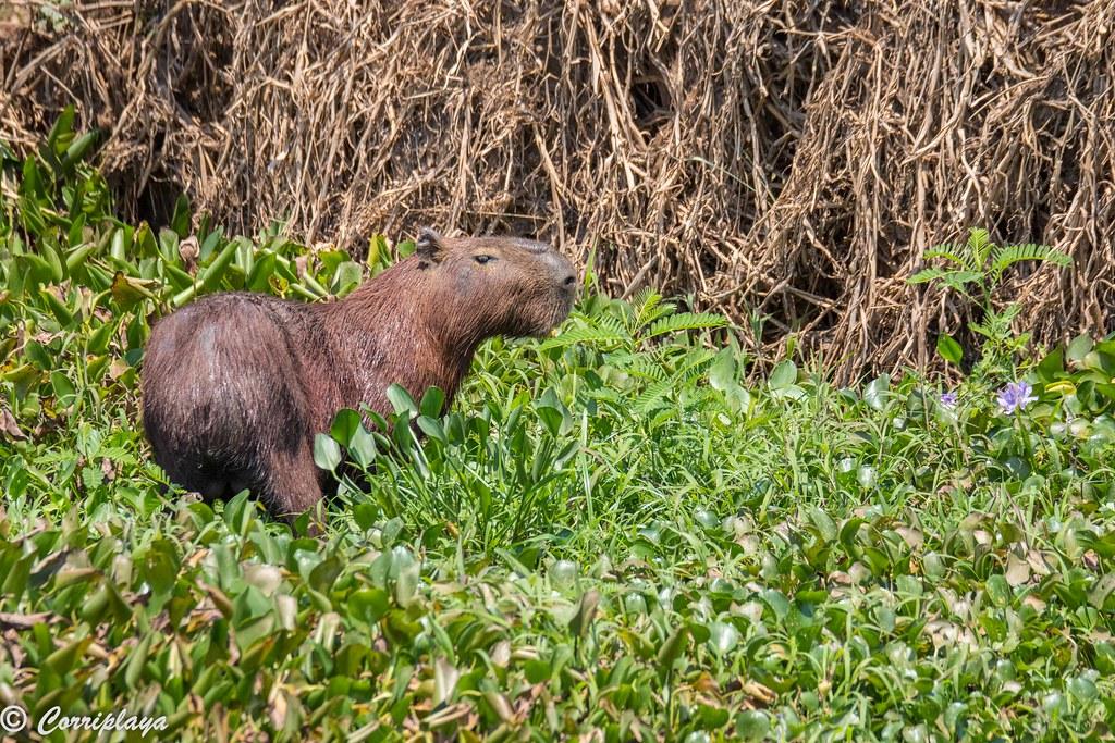Capibara, Hydrochoerus hydrochaeris, Capybara