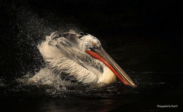 Pelikan (Pelecanus) - Gefiederpflege