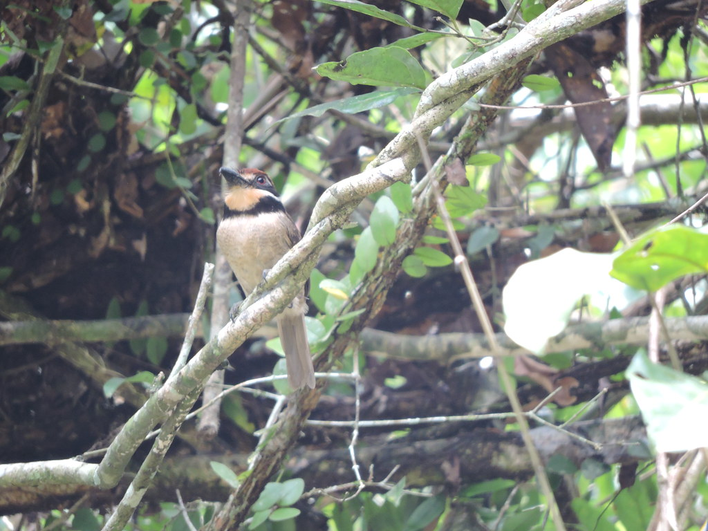 Chestnut-capped Puffbird - Bucco macrodactylus - El Jaguar ProAves Reserve - Foto: Luisa Fernanda Chávez Paz