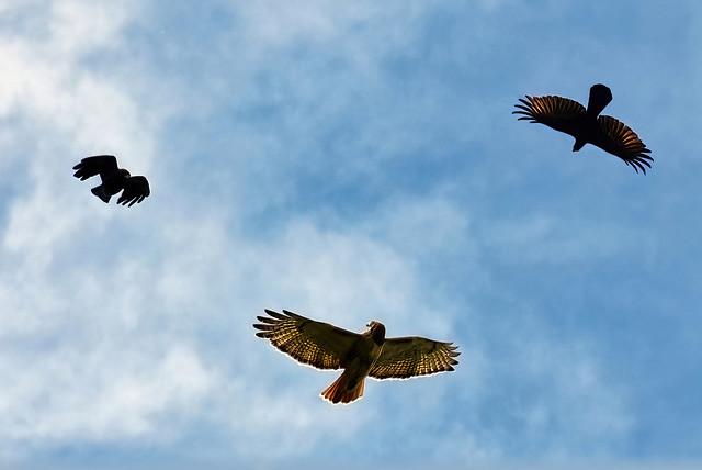 Ravens Chasing A Hawk