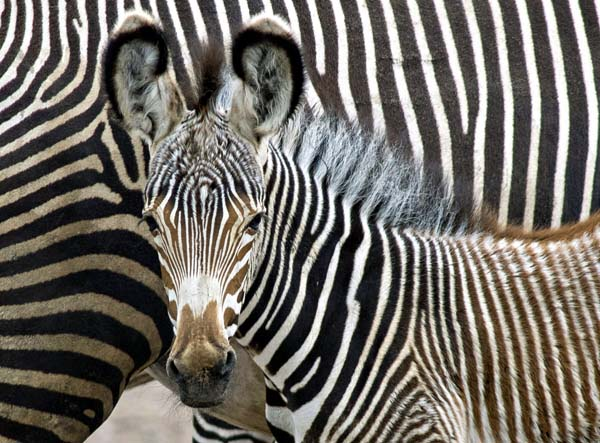 csm_Grevy-Zebra___Jungtier_2108_e51fd8b8fc