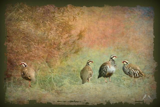 Rødhøne - Red-legged Partridge