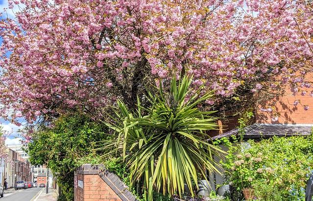 Pink tree Spring blossom in Preston