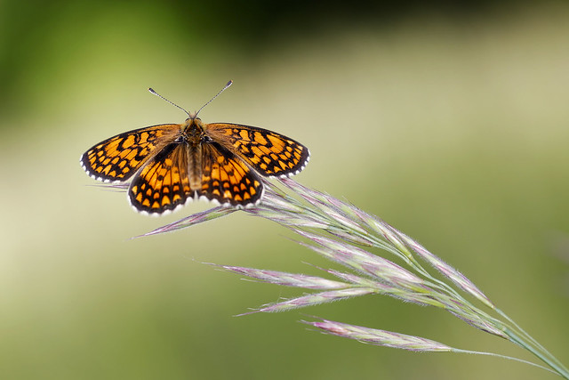 Regard de papillon (Mélitée Orangée, Melitaea didyma)